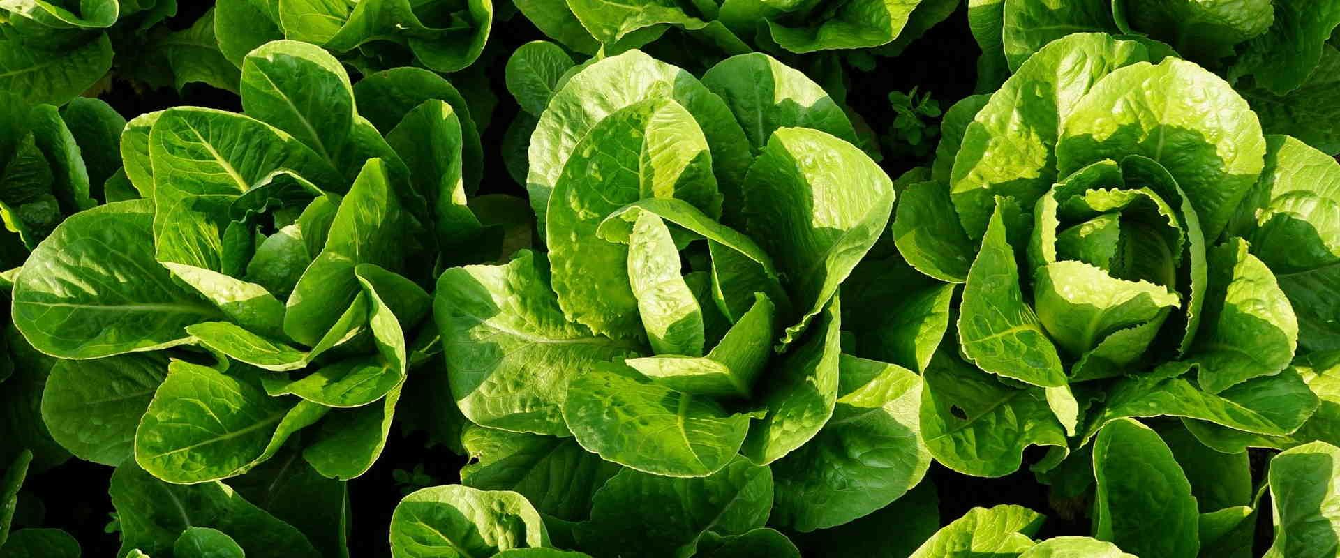 zielona sałata na grządce